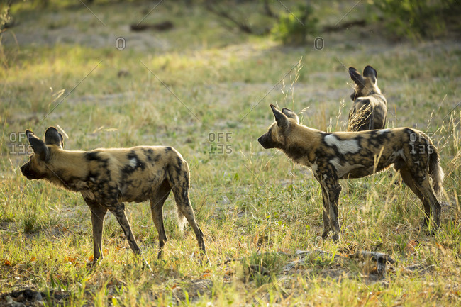 A pack of wild dogs in woodland.