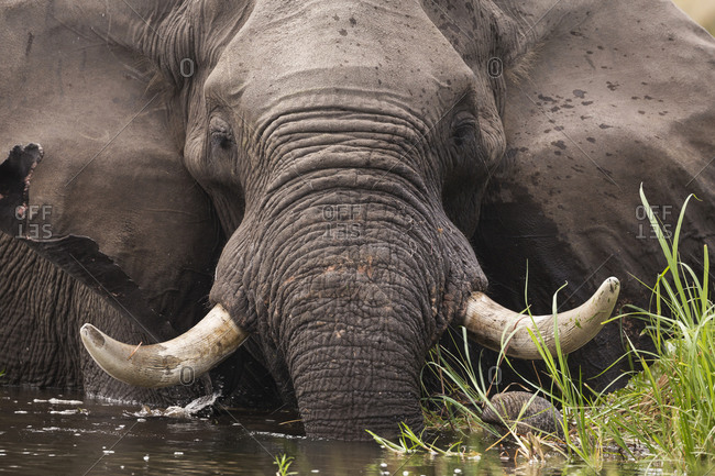 A mature elephant with tusks wading through water and reeds.