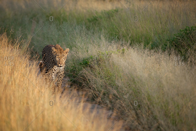 A leopard, Panthera pardus, walks down a road track, framed by grass, walking towards camera