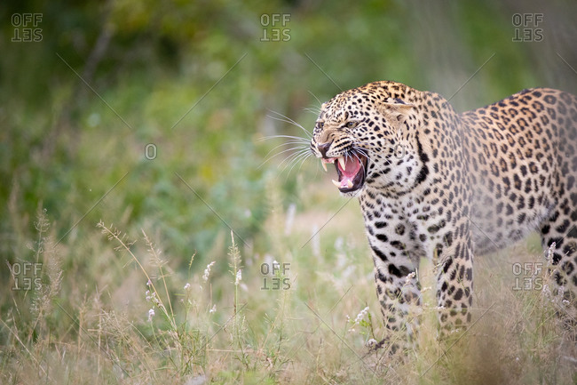 A leopard, Panthera pardus, stands in short grass and snarls, teeth visible
