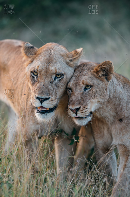 A lioness, Panthera leo, bumps heads with one of her cubs, looking out of frame