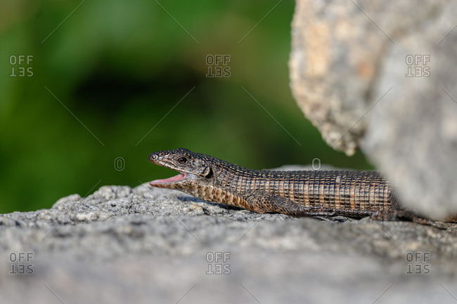 A giant plated lizard, Gerrhosaurus validus, lies on a rock, mouth open, looking out of frame