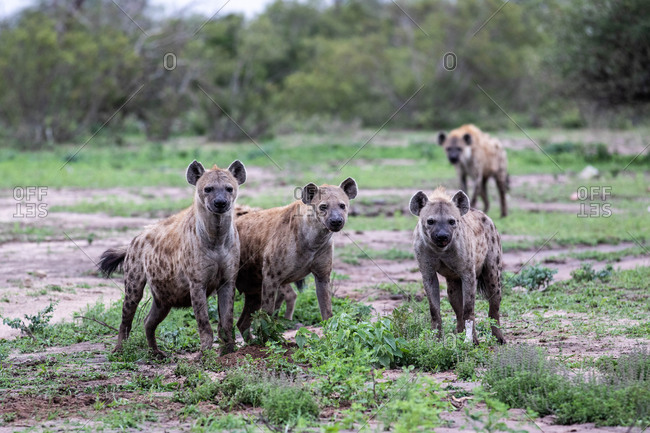 A clan of hyenas, Crocuta crocuta, stand together, direct gaze, ears forward, greenery background