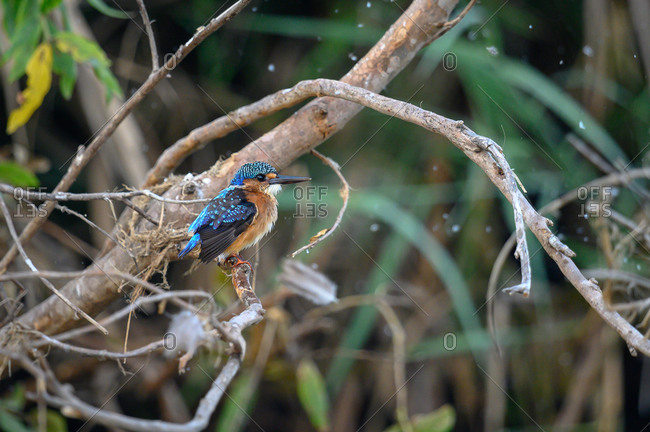 A juvenile malachite kingfisher, Corythornis cristatus, perches on a branch, looking out of frame