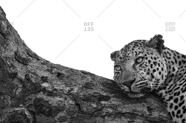 A leopard, Panthera pardus, lies down on a branch black and white, whited out background
