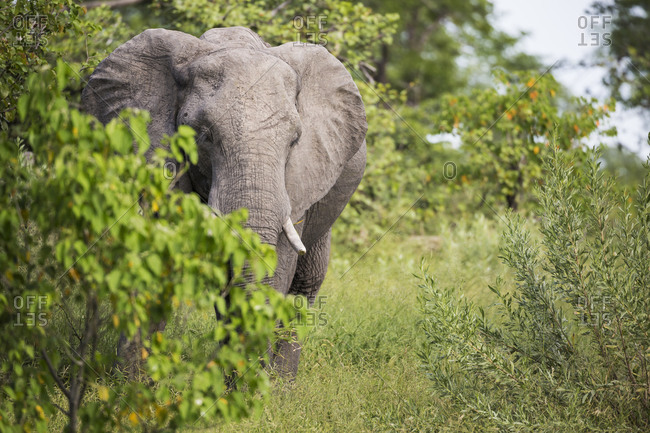 An African elephant with tusks, Loxodonta africana, among trees in the bush.