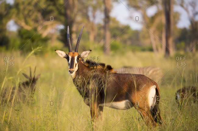 Oryx at sunset in long grass