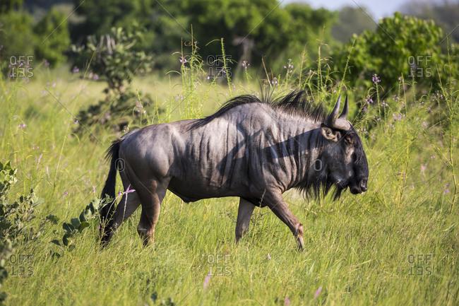 A wildebeest in long grass.