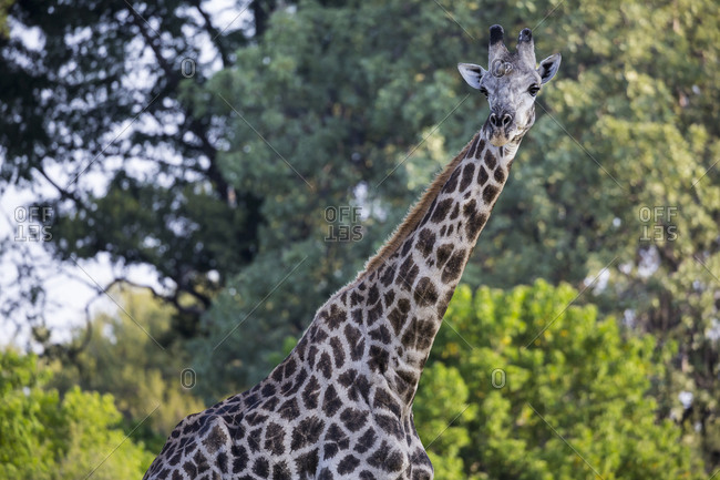 A giraffe, Giraffa camelopardalis, among the trees in woodland.