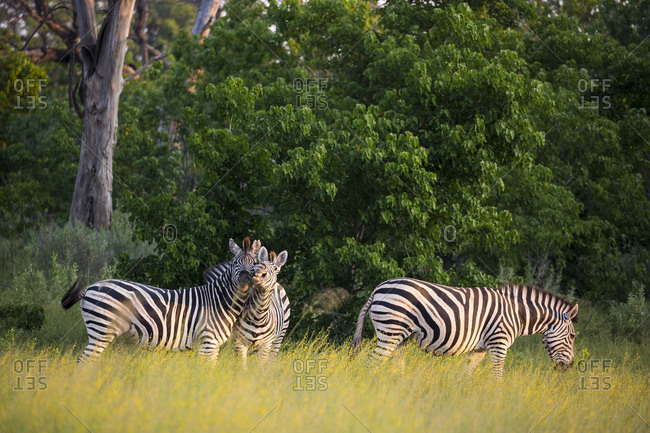 A group of zebra in long grass at sunset