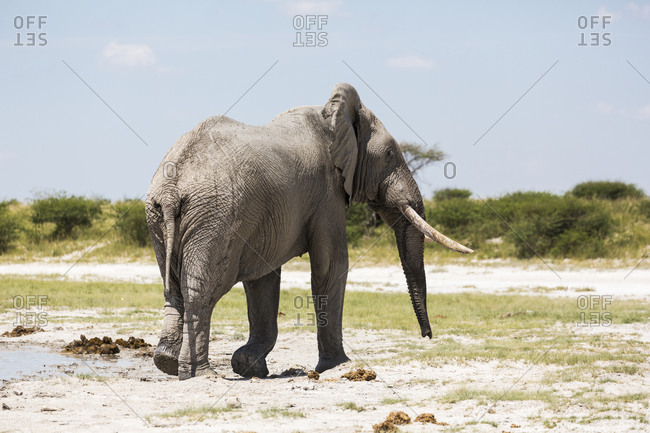 An elephant with tusks in Nxai Pan, Botswana