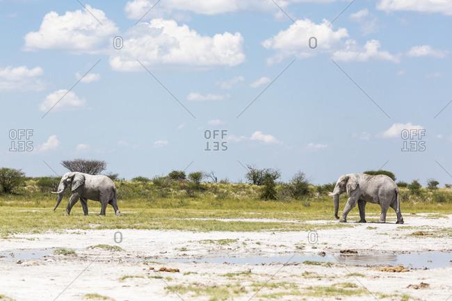 Two elephants in Nxai Pan, Botswana