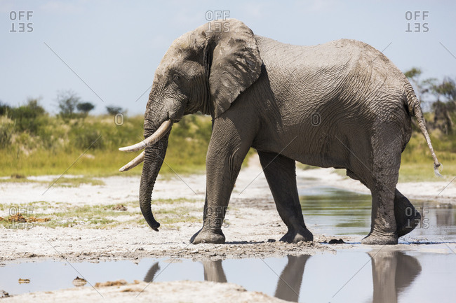 An elephant with tusks by a water pool on Nxai Pan slat pan.