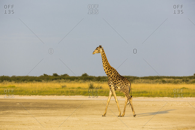 A giraffe, Giraffa camelopardalis , crossing a salt pan.