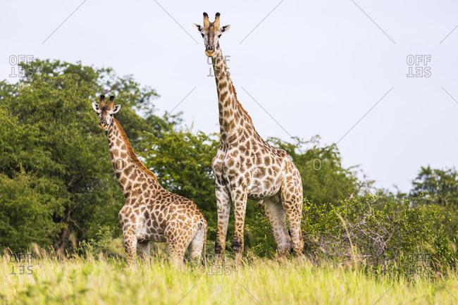 A giraffe, Giraffa camelopardalis near a salt pan