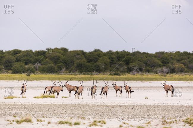 Oryx herd crossing a salt pan