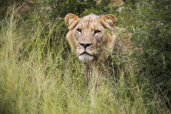 A female lion partially hidden in long grass