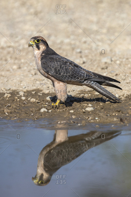 Lanner falcon (Falco biarmicus) at water, Kgalagadi Transfrontier Park, South Africa, Africa