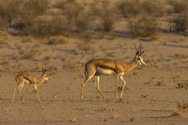 Springbok (Antidorcas marsupialis) and new-born calf, Kgalagadi Transfrontier Park, South Africa, Africa