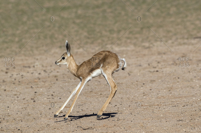 Springbok (Antidorcas marsupialis) calf, Kgalagadi Transfrontier Park, South Africa, Africa