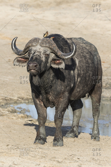 Cape buffalo (Syncerus cafer), Elephant Plains, Sabi Sand Game Reserve, South Africa, Africa