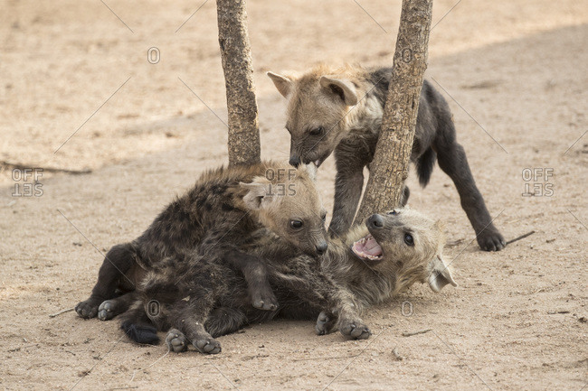 Spotted hyena (Crocuta crocuta) cubs, Elephant Plains, Sabi Sand, South Africa, Africa