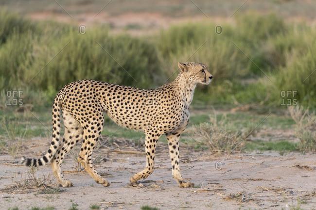 Cheetah (Acinonyx jubatus), Kgalagadi Transfrontier Park, South Africa, Africa
