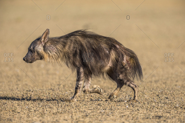 Brown hyena (Hyaena brunnea), Kgalagadi Transfrontier Park, South Africa, Africa