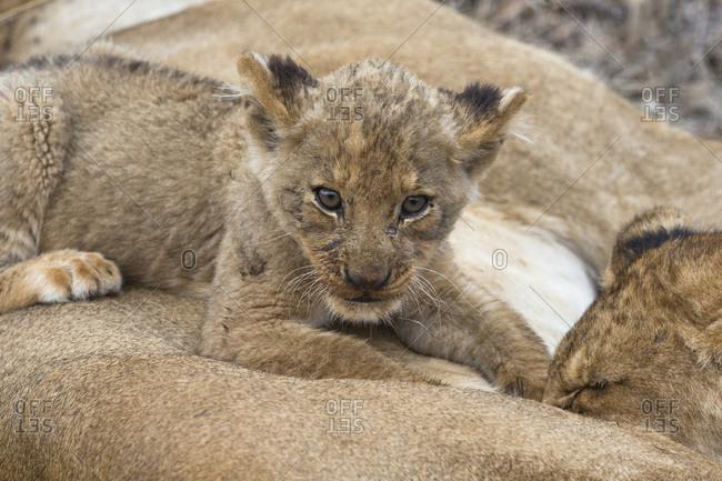 Lion (Panthera leo) cub, Elephant Plains, Sabi Sand Game Reserve, South Africa, Africa