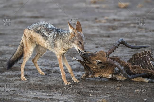 Blackbacked jackal (Canis mesomelas) scavenging from dead impala carcass, Mashatu Game Reserve, Botswana, Africa