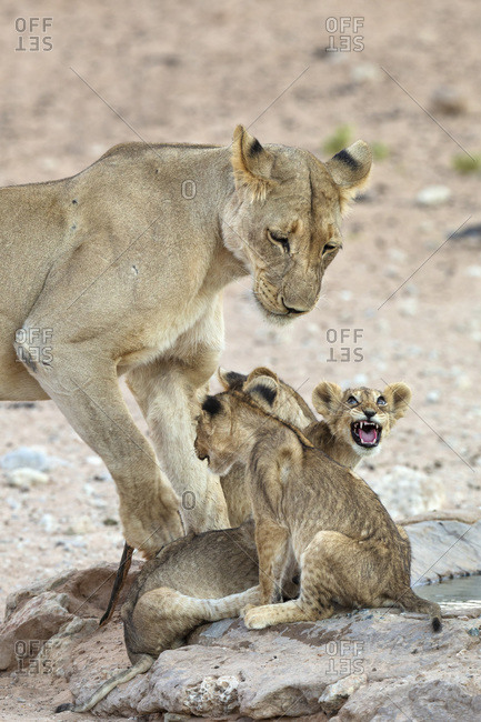 Lioness (Panthera leo) with cubs, Kgalagadi Transfrontier Park, South Africa, Africa