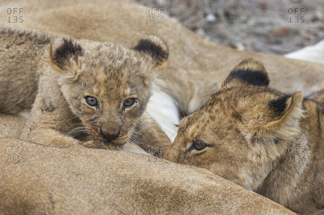 Lion (Panthera leo) cubs suckling, Elephant Plains, Sabi Sand Game Reserve, South Africa, Africa