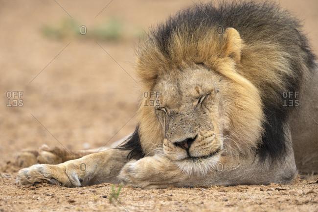 Lion (Panthera leo) sleeping, Kgalagadi Transfrontier Park, South Africa, Africa