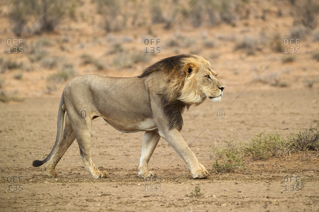 Lion (Panthera leo) on the move, Kgalagadi Transfrontier Park, South Africa, Africa