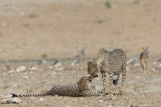 Cheetah (Acinonyx jubatus) brothers, Kgalagadi Transfrontier Park, South Africa, Africa