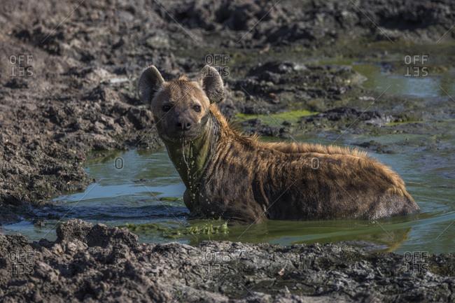 Spotted hyena (Crocuta crocuta) cooling off, Elephant Plains, Sabi Sand, South Africa, Africa