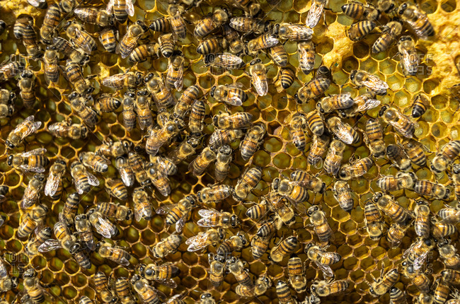 Honey bees on honeycomb, Mexico, North America