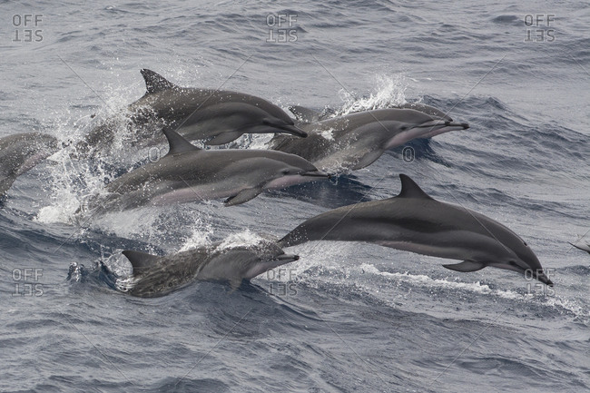 Clymene dolphins (Stenella clymene) porpoising and showing distinctive tripartite color pattern, Sao Tome and Principe, Africa