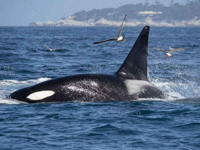 Transient killer whale (Orcinus orca) killing a California grey whale calf, Fishermans Cove, Carmel, California, United States of America, North America