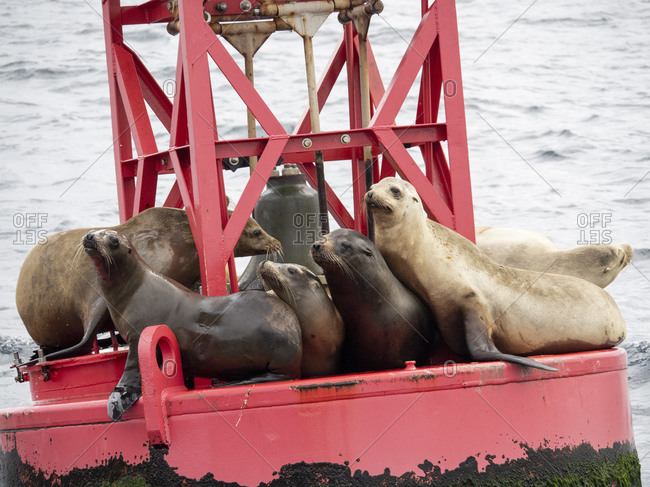 Adult California sea lions (Zanclus californianus), hauled out on a buoy near Moss Landing, California, United States of America, North America