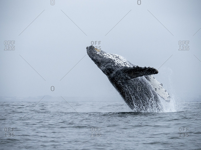 Humpback whale (Megaptera novaeangliae), breaching in Monterey Bay National Marine Sanctuary, California, United States of America, North America