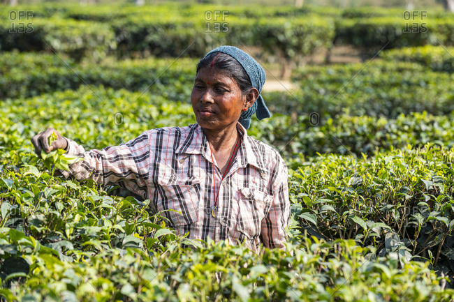 February 21, 2020: Woman picking tea from tea plants on a tea plantation, Assam, India, Asia