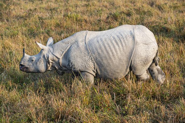 Indian rhinoceros (Rhinoceros unicornis), Kaziranga National Park, UNESCO World Heritage Site, Assam, India, Asia
