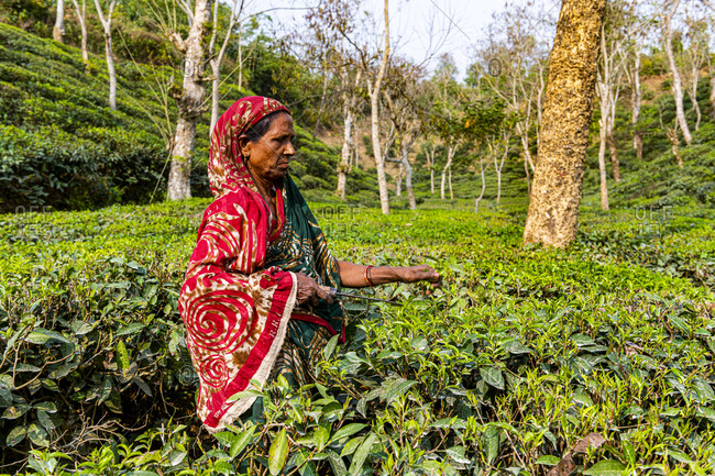 February 26, 2020: Woman picking Tea leaves on a Tea plantation in Sreemagal, Bangladesh, Asia