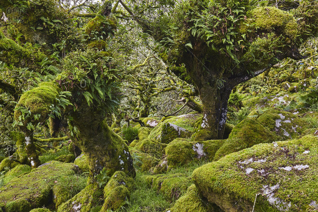 Ancient gnarled and stunted oak trees growing among moss-covered boulders in Wistman's Wood, Dartmoor National Park, Devon, England, United Kingdom, Europe