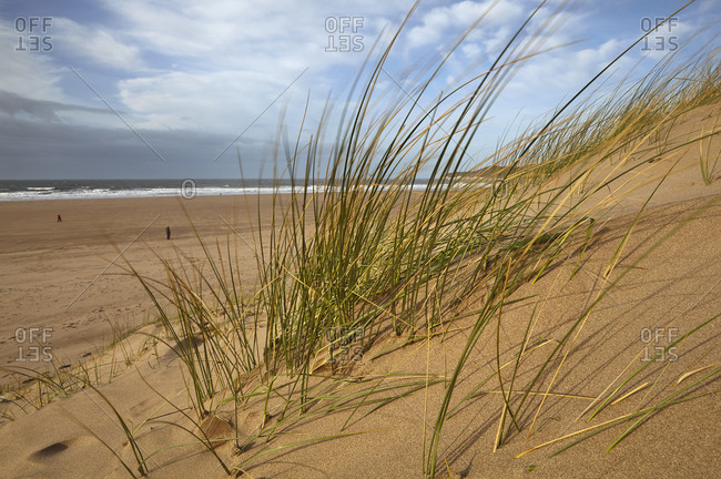 Marram grass stabilizing sand dunes along the edge of a magnificent beach, at Woolacombe, north Devon, England, United Kingdom, Europe