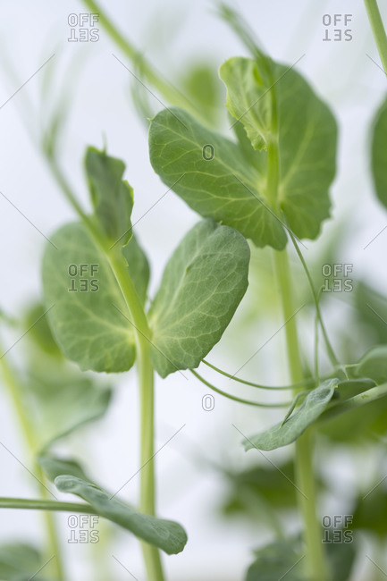 Young tender pea shoots growing on a windowsill, England, United Kingdom, Europe