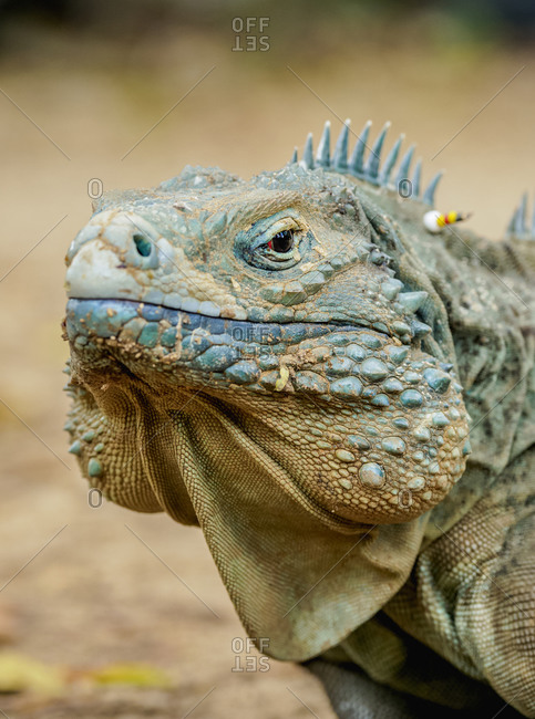 Blue iguana (Cyclura lewisi), Queen Elizabeth II Botanic Park, North Side, Grand Cayman, Cayman Islands, Caribbean, Central America