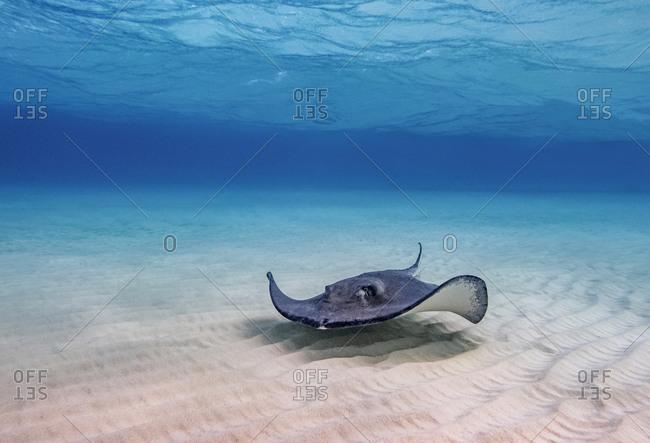 Southern stingray (Hypanus americanus), Stingray City, Grand Cayman, Cayman Islands, Caribbean, Central America