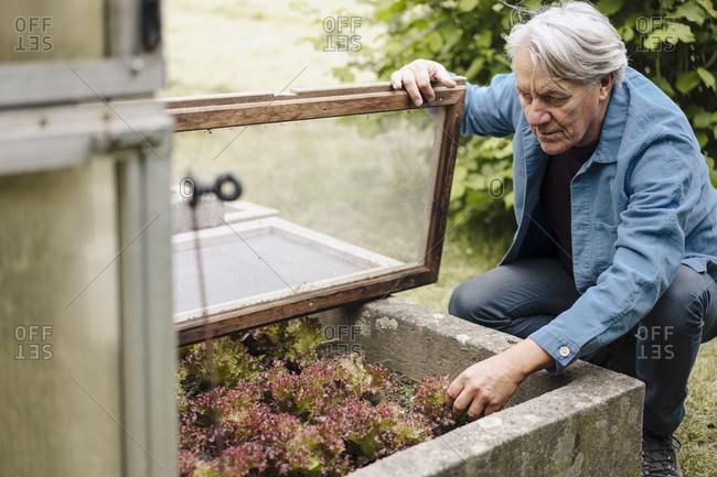 Senior man checking lettuce at a greenhouse